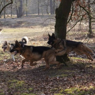 Hondenwerkgroep