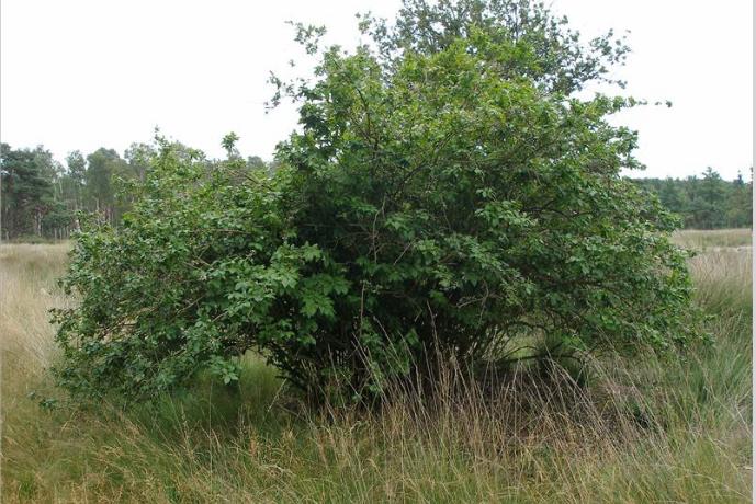 Onderzoek aanwezigheid Trosbosbes in de Peelvenen