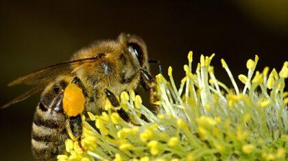 Start zwermseizoen van de bijen