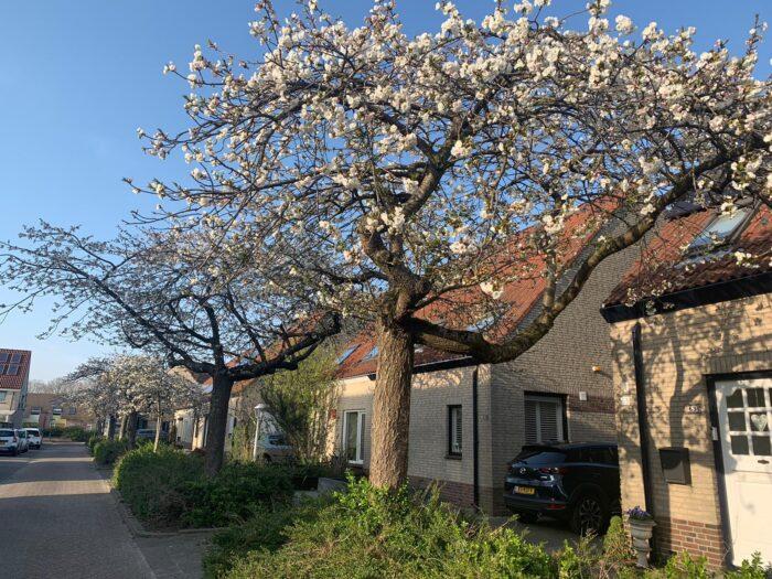 Bewoners Ijsselstraat willen bloesembomen niet kwijt