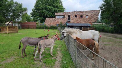 Twee nieuwe ezeltjes bij de Veldhoeve